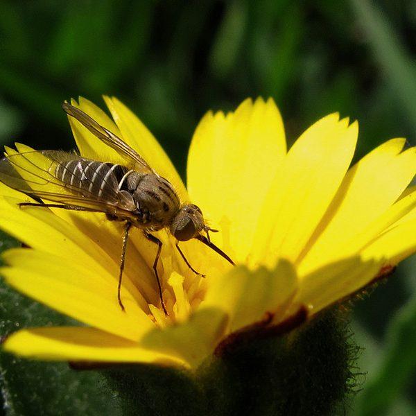 Calendula abeja