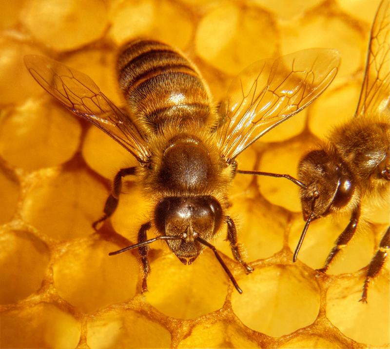 Cera virgen de abeja - Reachem - Reachem